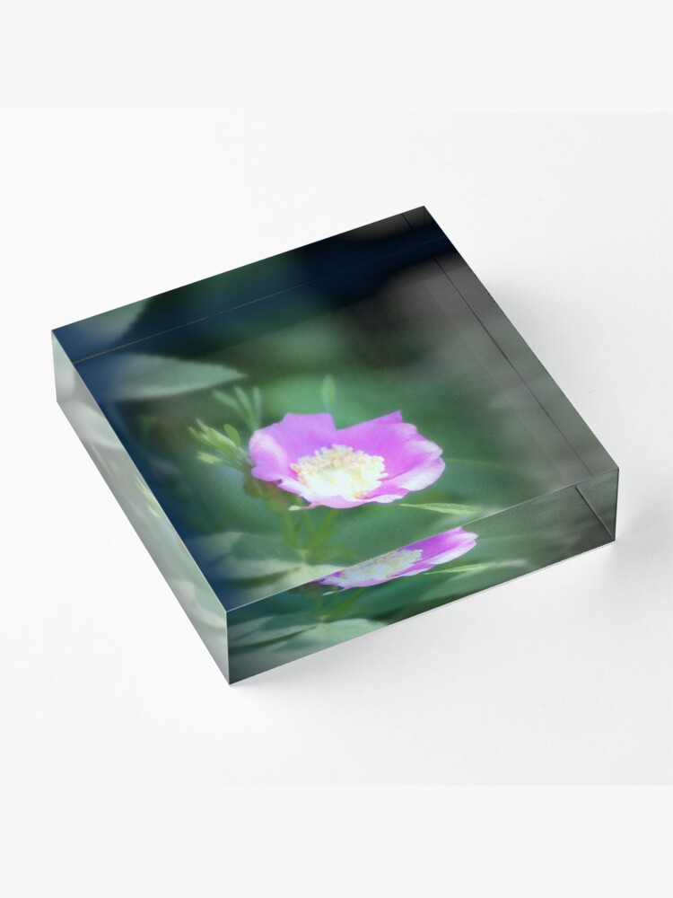 Alternate view of Old fashioned pink rose, near Trojan pond, Oregon Acrylic Block