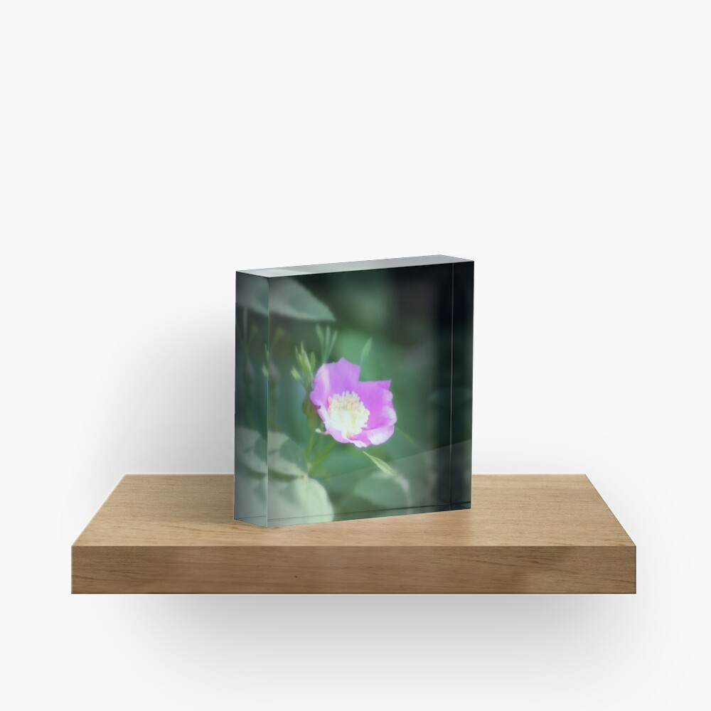 Old fashioned pink rose, near Trojan pond, Oregon Acrylic Block
