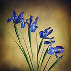 Iris by Heather Prince