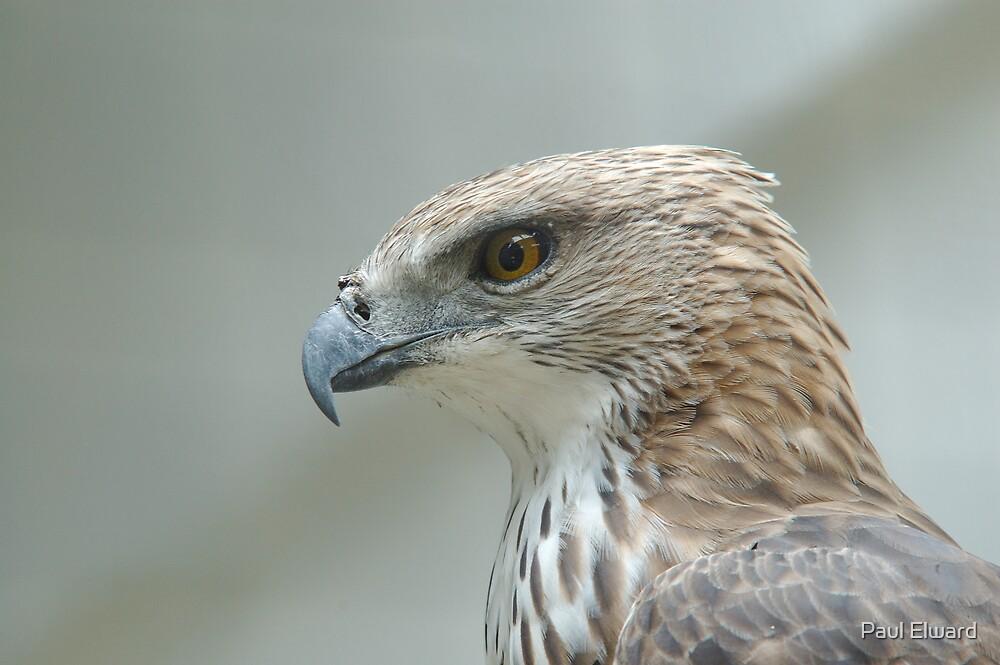 Eagle Eye by Paul Elward