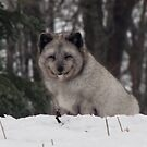 Cute Arctic Fox by caybeach