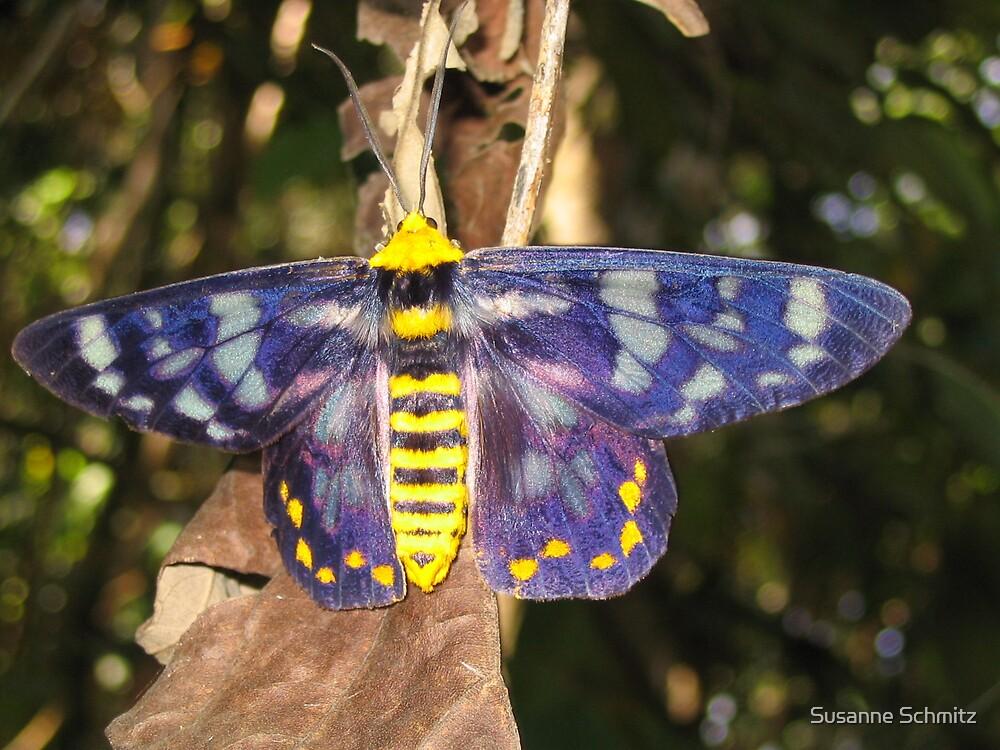 colourful moth - Queensland, Australia by Susanne Schmitz