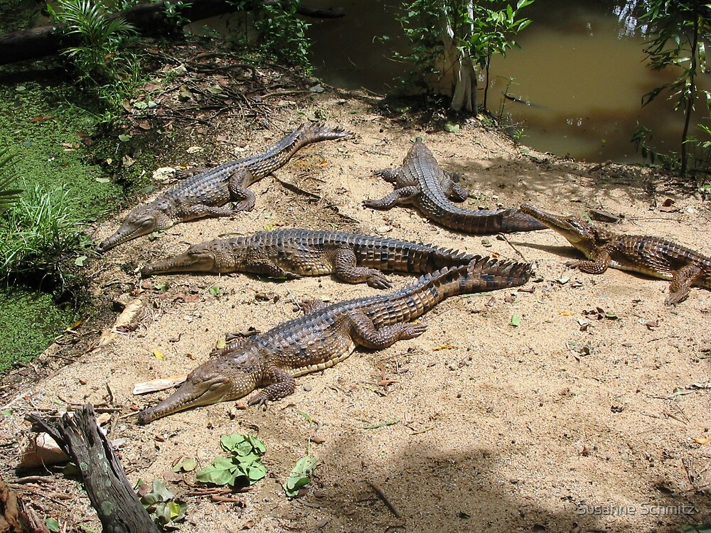 corocodiles Queensland, Australia by Susanne Schmitz