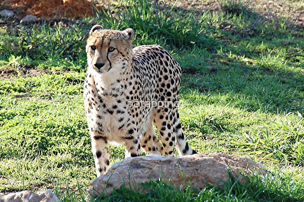 Ambassador Cheetah by patapping