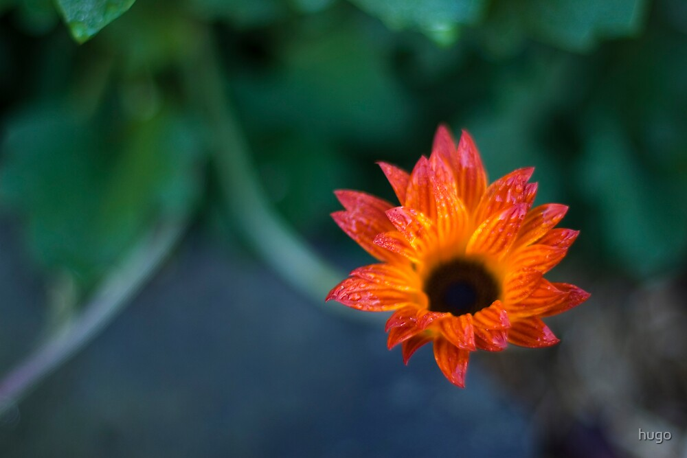 STH AFRICAN DAISIES by hugo