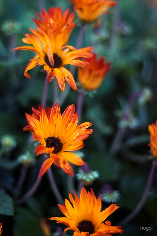 STH AFRICAN DAISIES 3 by hugo