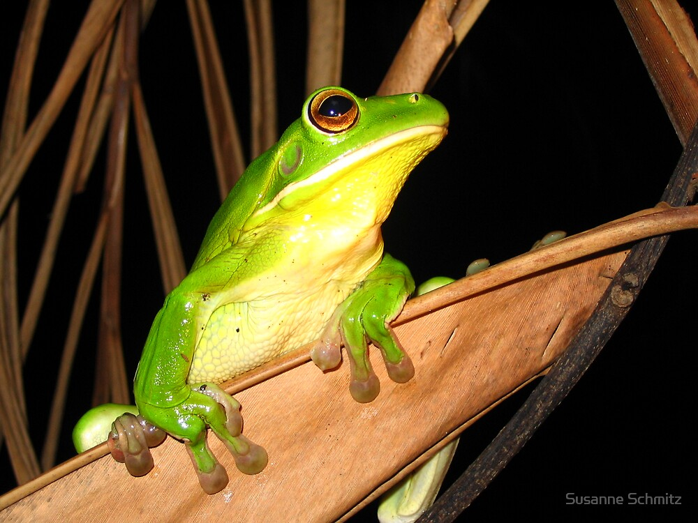 whitelip tree frog - northern Queensland, Australia by Susanne Schmitz