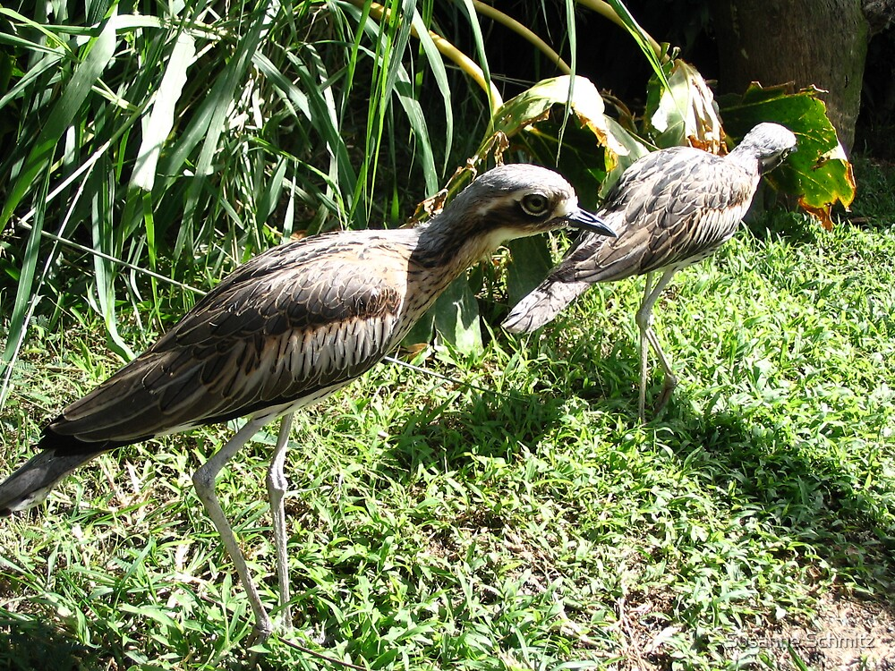 curlews - Magnetic Island - QLD, Australia by Susanne Schmitz