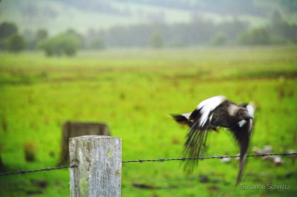 young magpie by Susanne Schmitz