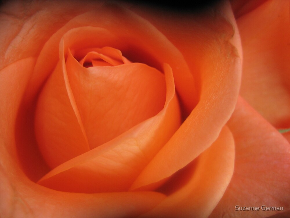 orange rose by Suzanne German
