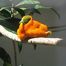 Unusual Bird from Fiji by Camelot