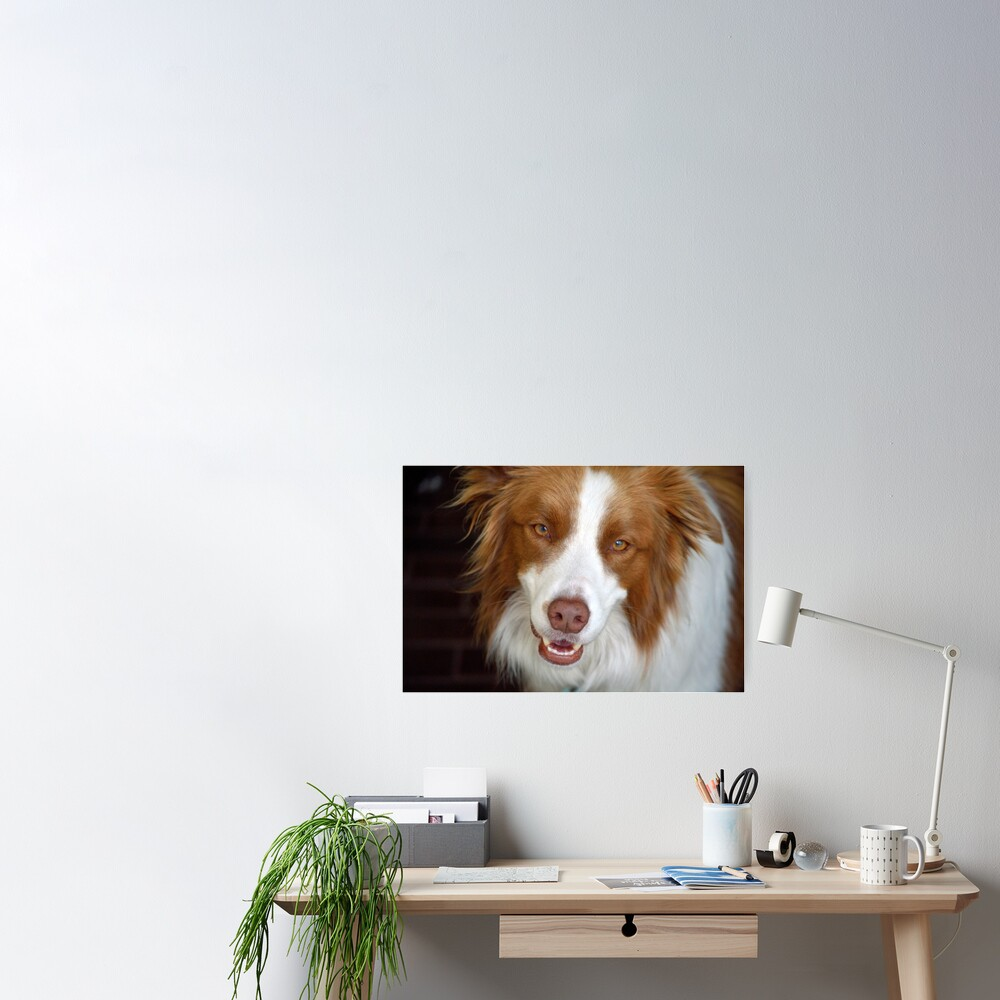Beautiful Border Collie Poster
