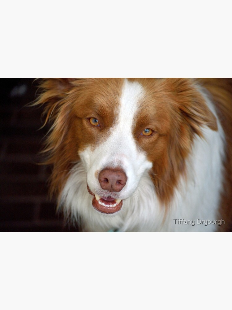 Beautiful Border Collie by Tiffany