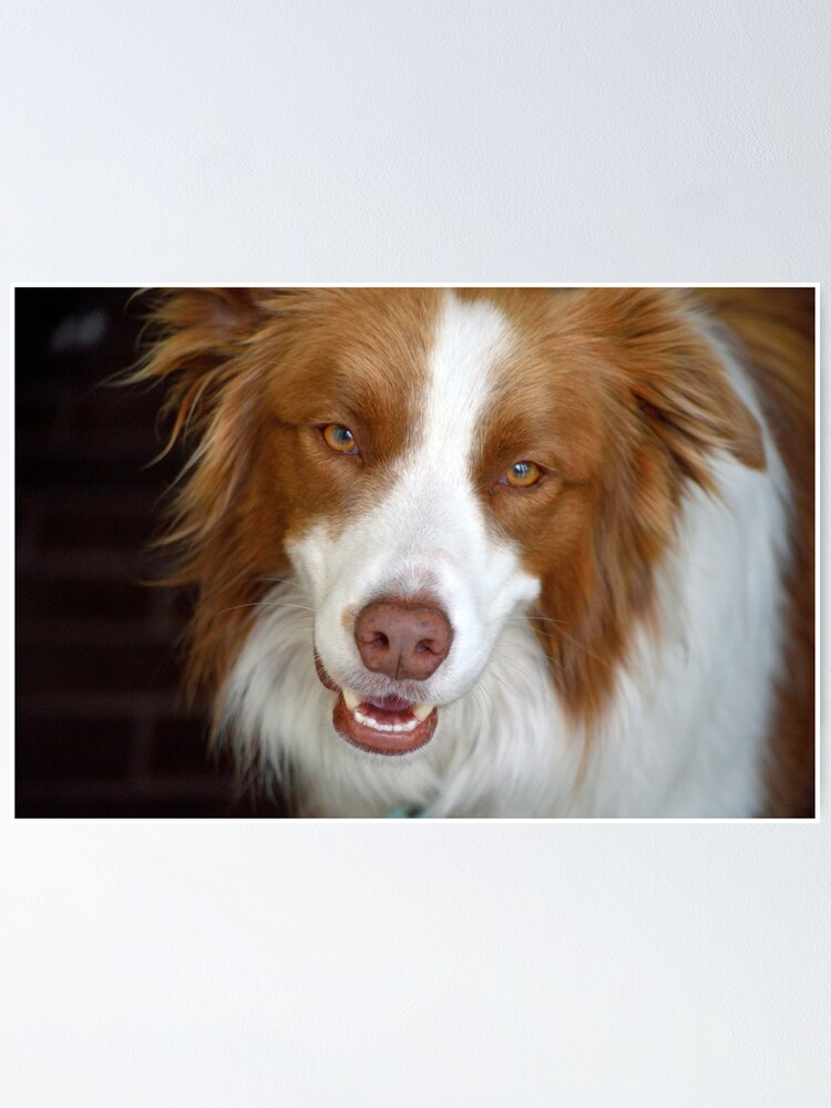 Alternate view of Beautiful Border Collie Poster