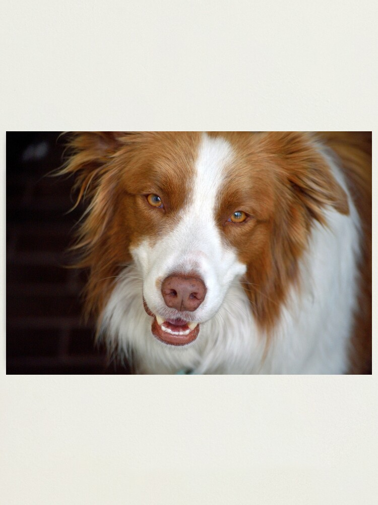 Alternate view of Beautiful Border Collie Photographic Print