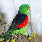Red-winged Parrot by triciaoshea