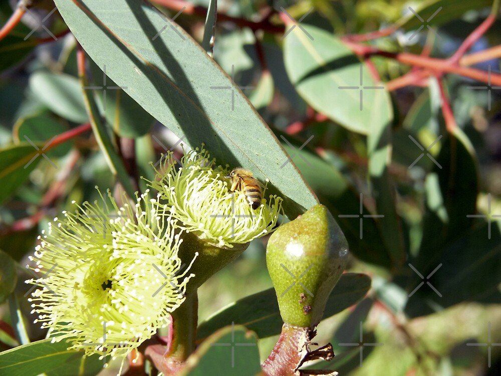 Bee in Yellow Gum Blossom by Sandra Chung