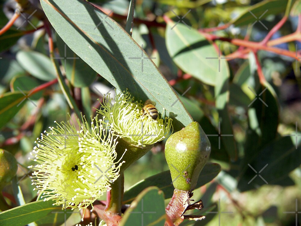 Bee in yellow gum blossom #3 by Sandra Chung
