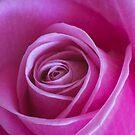 pink rose by clayton  jordan
