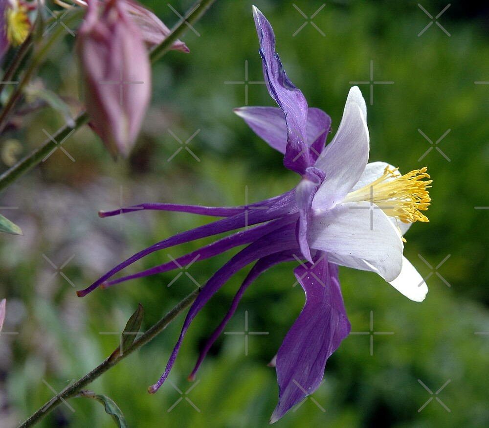 Columbine Purple Profile by Holly Werner