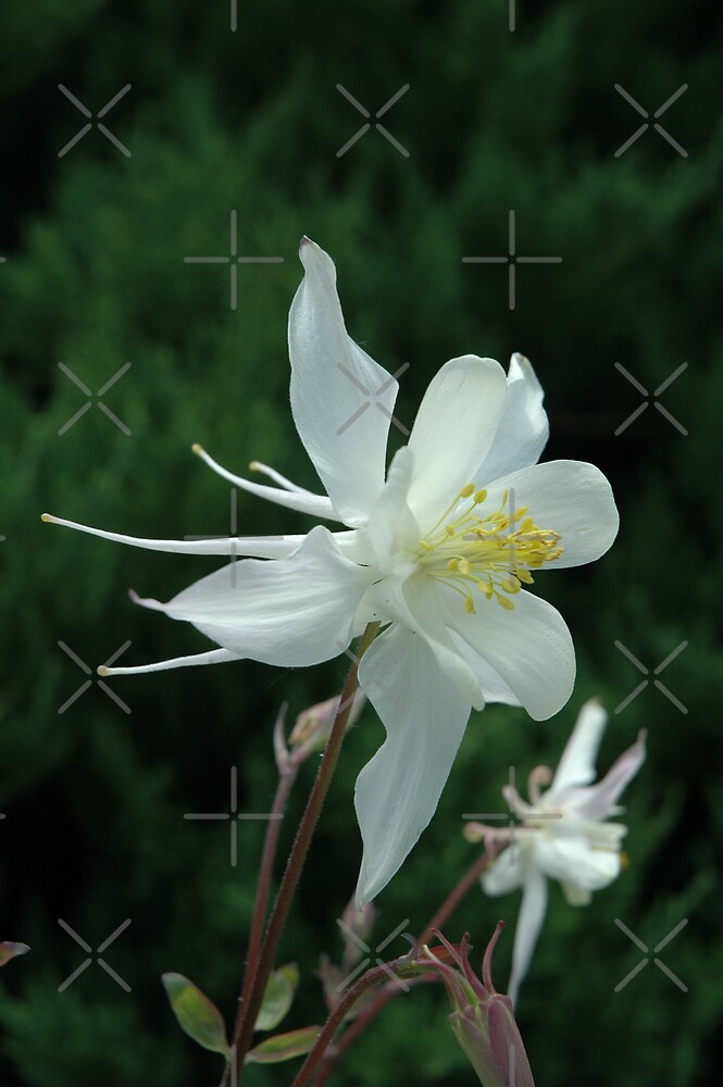 White Columbine by Holly Werner