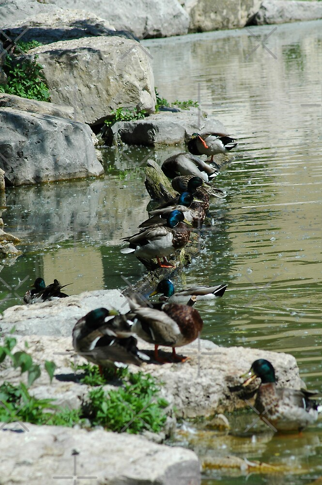 Ducks in a Row by Holly Werner