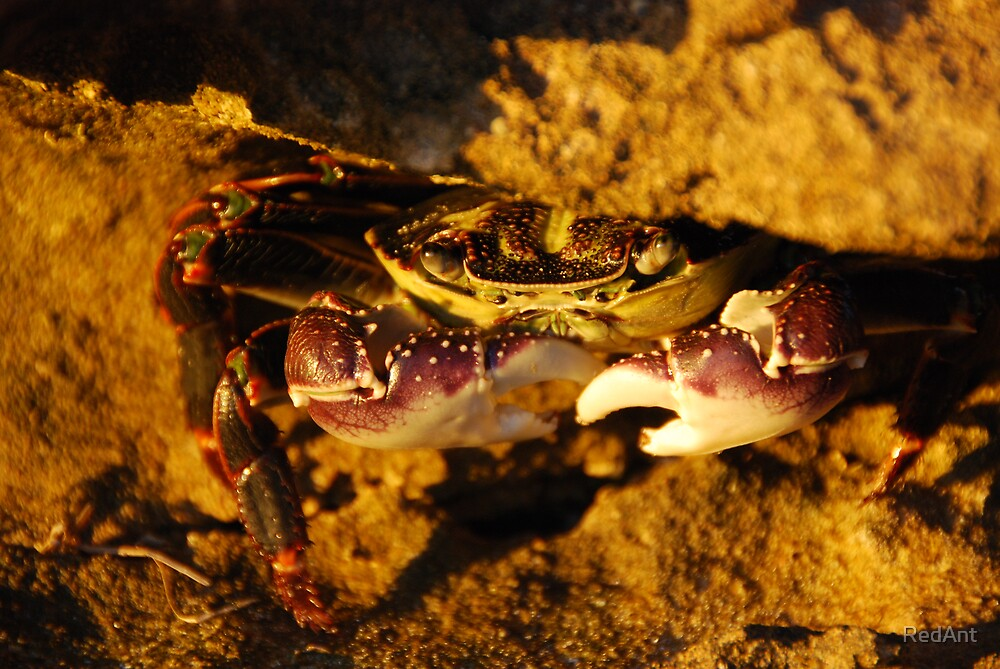 Sun Kissed Crab by RedAnt