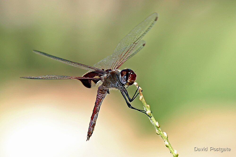 Dragonfly by David  Postgate