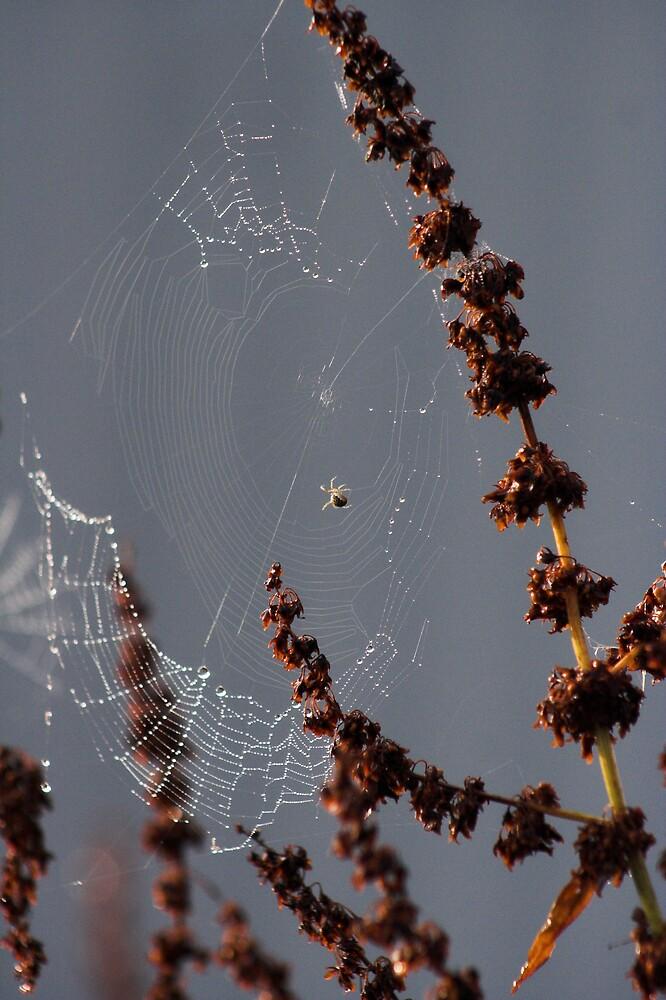 Spider Web dew morning by Moth