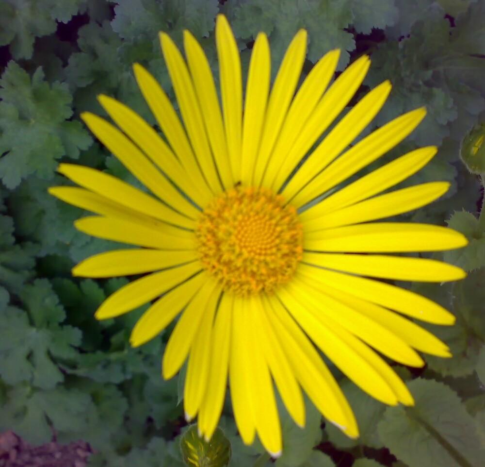 Yellow Daisy by Arabrab