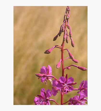 Purple meadow flower Photographic Print