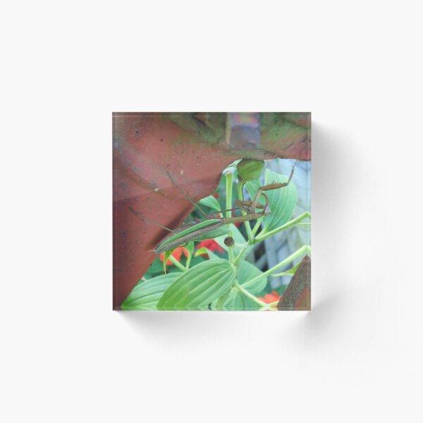 Praying Mantis Acrylic Block