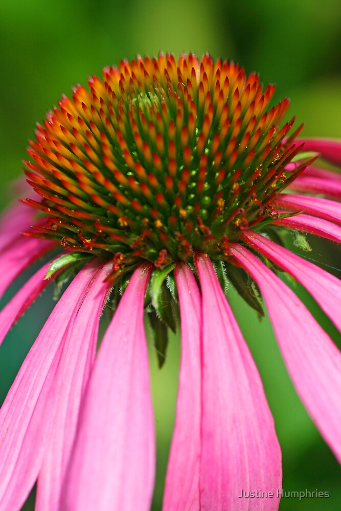 Echinacea in pink by Justine Humphries