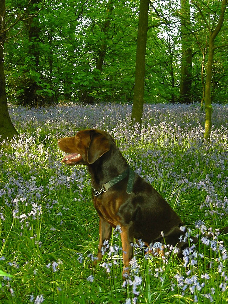 Tarka amongst the bluebells. by Arabrab