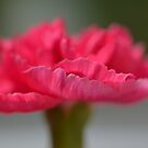 Pink carnation macro by Prettyinpinks