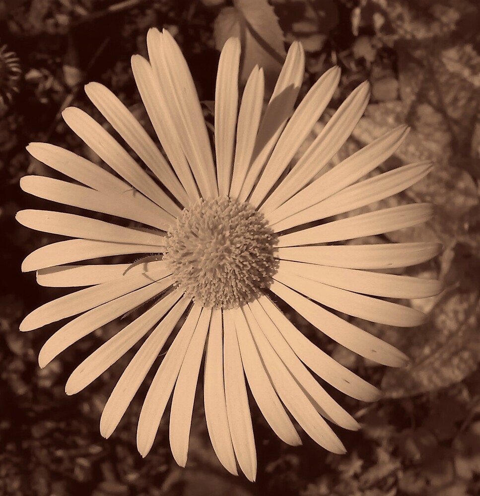 Sepia Daisy. by Arabrab