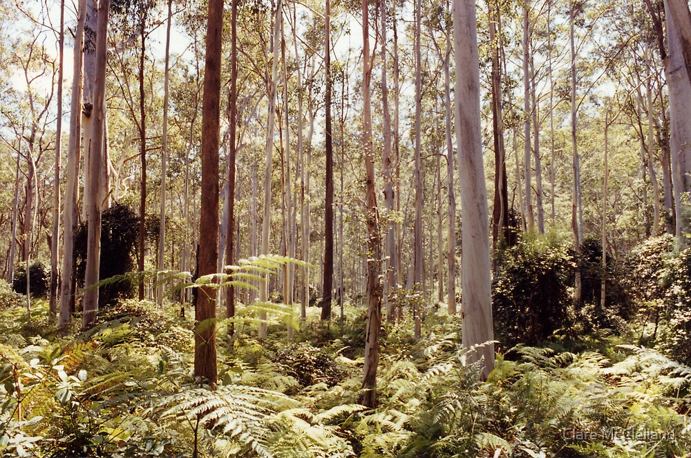 Bluegum Forest by Clare McClelland