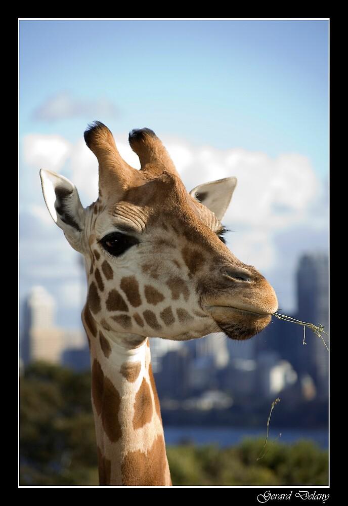 Giraffa camelopardalis - Giraffe by Gerard Delany