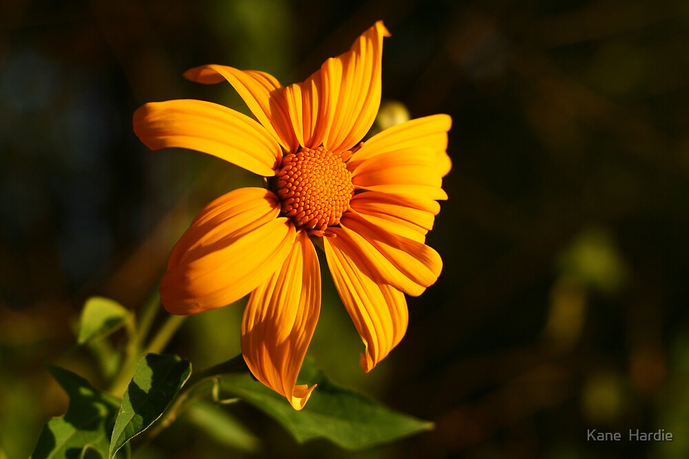 Yellow Flower #1 by Kane  Hardie