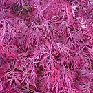 Red Acer by Arabrab