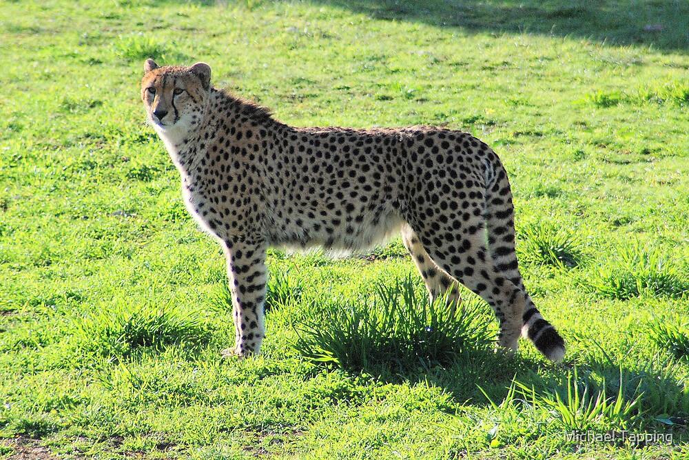 """Ambassador""     - Cheetah- Monarto Zoo South Aust. by Michael Tapping"