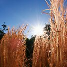Grass in the afternoon sun by MagnusAgren
