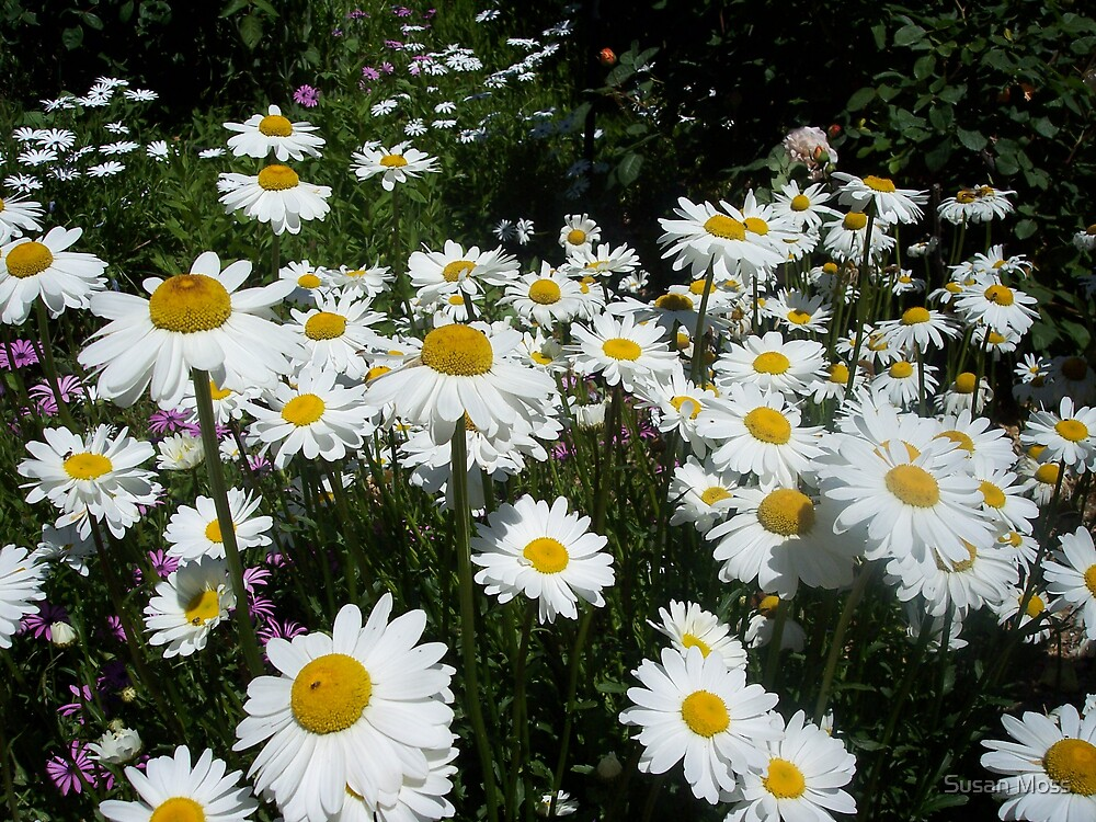 White daisies by Susan Moss