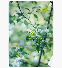 Blossoming apple tree in the spring sunshine Poster