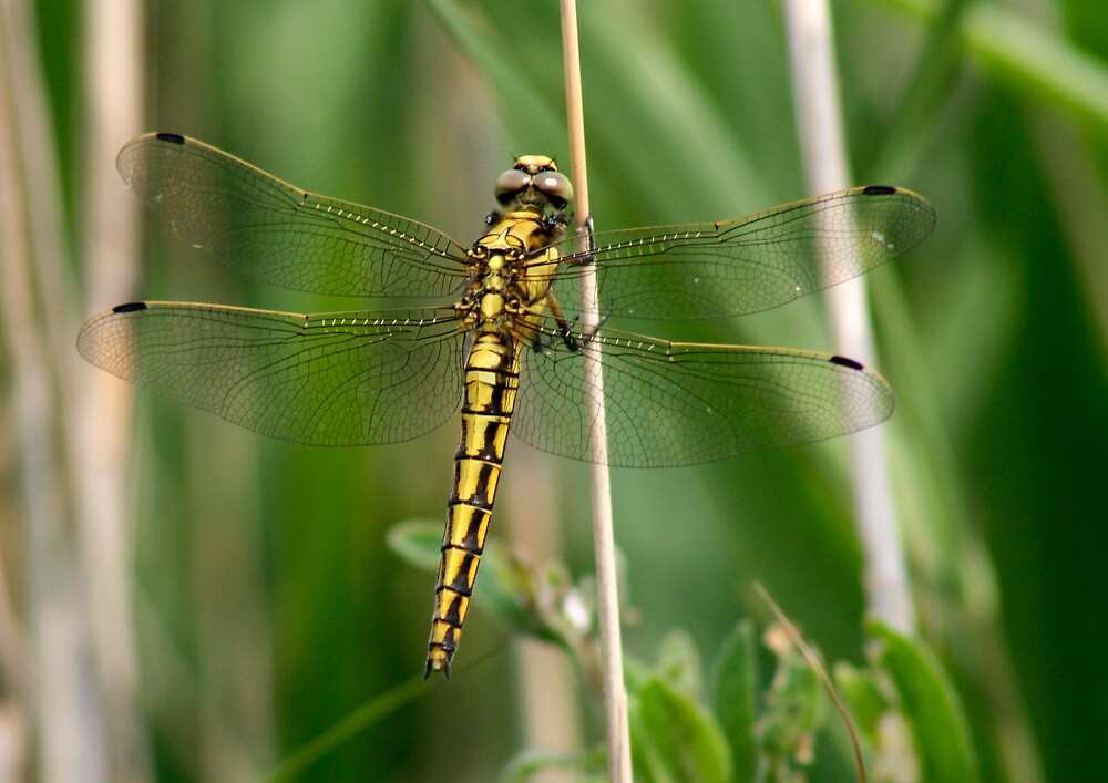 Dragonfly of Gold by epc2007