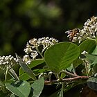 White shrub flower attracting bee Leith Park Victoria 20161129 7864  by Fred Mitchell