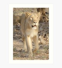 Lioness on the move Art Print