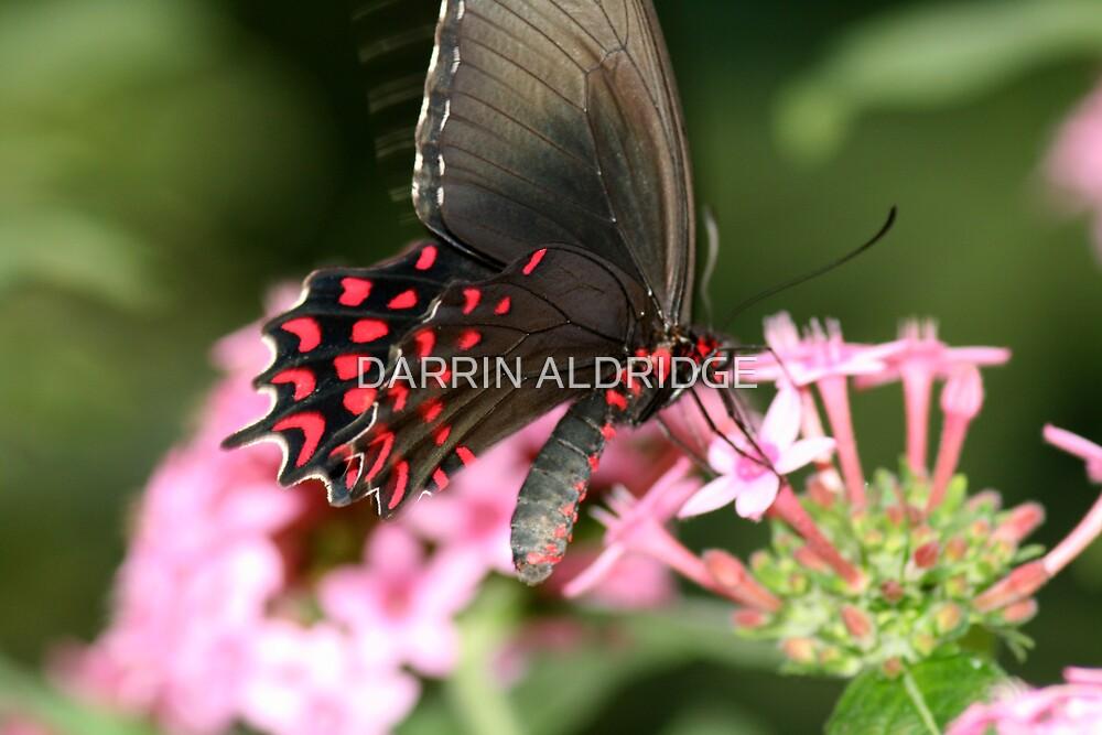 Black Ruby Beauty by DARRIN ALDRIDGE