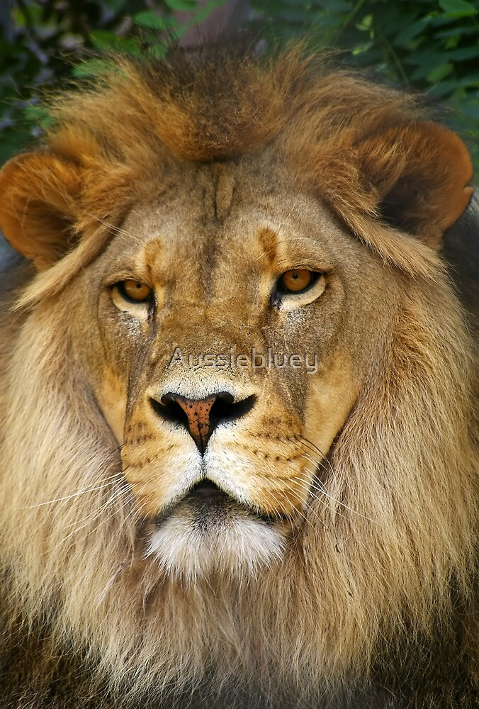 Lion. by Aussiebluey