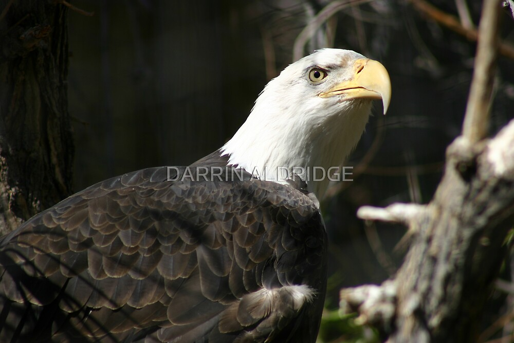 An Eagle's Stare by DARRIN ALDRIDGE